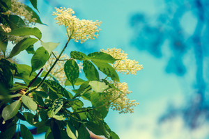 Blossoming elder (Sambucus) flowers against blue sky