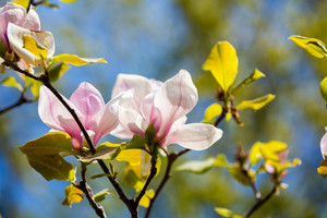 Blossoming magnolia flower on the branch.