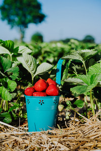 Blue bucket full of fresh pick juicy strawberries on a field on sunny day. Green foliage leaves in background