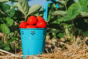 Blue bucket full of fresh pick juicy strawberries. Strawberry field on sunny day. Green leaves in background