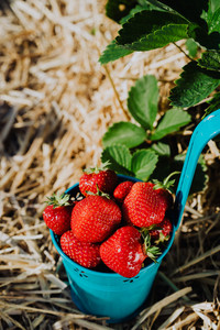 Blue bucket full of fresh pick strawberries. Strawberry field on sunny day. Green foliage in background