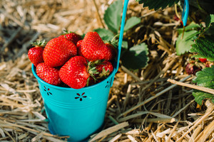 Blue bucket full of fresh pick strawberries. Strawberry field on sunny day