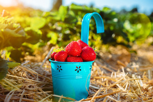 Blue bucket with fresh pick strawberries on a field. Day sunny light beams and flares in frame