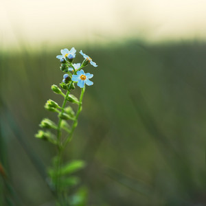 blue little soft meadow wild flower on green dark background in field in evening. Outdoor natural autumn photo