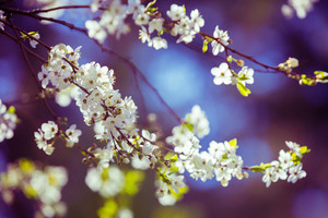 Blue purple vintage blossom cherry branch. Spring natural background