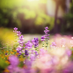 blue soft flowers in flowerbed in garden. Nature background