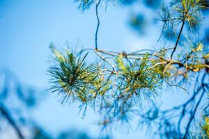 Blue vintage pine branch