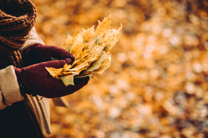 Bouquet of autumn yellow maple leaves in female gloved hands. Ground covered with orange leaves in background