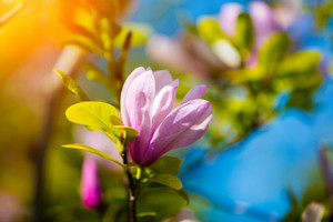 Branch with blossoming Magnolia flower