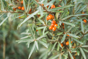 Branches with orange ripe berries of seabuckthorn