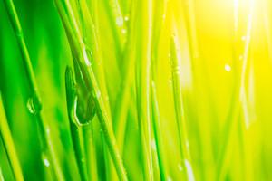 Bright fresh vibrant spring green grass close-up with some rain drops under bright warm sun light
