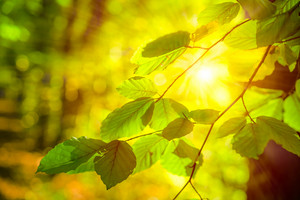 Bright sun light rays shining thought branches with leaves in the autumn forest