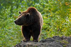 Brown bear, Ursus arctos, hideen behind the tree trunk in the forest. Face portrait of brown bear. Bear with open muzzle with big tooth. Brown bear in the nature. Bear in the forest animal, Romania