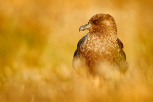 Brown skua, Catharacta antarctica, water bird sitting in the autumn grass, evening light, Argentina