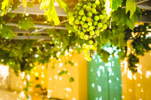 Bunch of ripe green grapes are growing on the grapevine terrace overhead traditional Greek house. Ideal sweet fruit for tasty fresh or made home wine of Mediterranean grapes