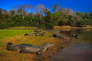 Caiman, Yacare Caiman, crocodiles in the river surface, evening with blue sky, animals in the nature habitat. Pantanal, Brazil