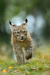 Cat Eurasian lynx in the green grass in czech forest, baby chick