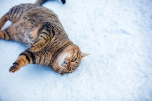 Cat lying on a back on snow outdoor