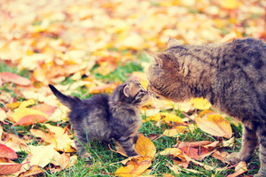 Cat mother and her little kitten sniffing each other outdoors in autumn