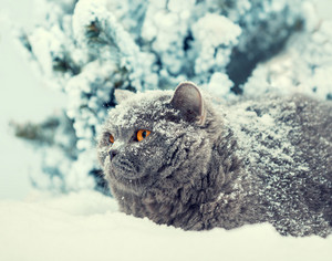 Cat siting in snow during blizzard near fir tree in winter