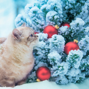 Cat sitting in snow near fir tree with Christmas decoration.