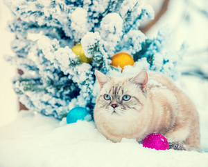 Cat sitting in snow near fir tree with Christmas decoration