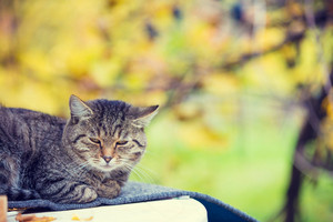 Cat sitting outdoor against colorful autumn leaves. Cat sleeping in a garden