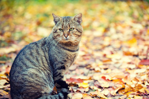 Cat sitting outdoors on the fallen leaves in autumn in park