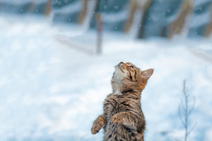 Cat standing on hind legs in the snow in the winter