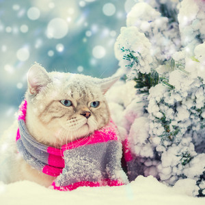 Cat wearing knitted scarf sitting in snow near fir tree with Christmas decoration