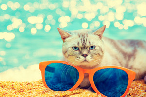 Cat with big sunglasses relaxing on the beach