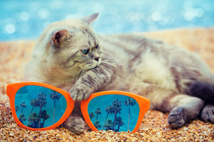 Cat with big sunglasses with reflection of palm trees relaxing on the beach