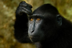 Celebes crested Macaque, Macaca nigra, black monkey, detail portrait, sitting in the nature habitat, dark tropical forest, wildlife from Asia, Tangkoko, Sulawesi, Indonesia, Hand on the head.