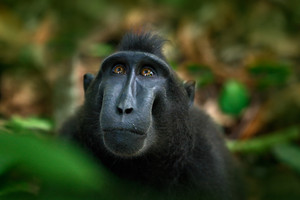 Celebes crested Macaque, Macaca nigra, black monkey, detail portrait, sitting in the nature habitat, dark tropical forest, wildlife from Asia, Tangkoko, Sulawesi, Indonesia