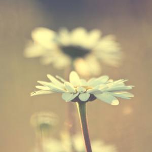 chamomile. Spring nature