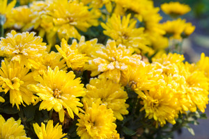 Chrysanthemum flowers covered with rime in the garden