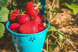 Close up of blue bucket full of fresh pick juicystrawberries. Strawberry field on sunny day