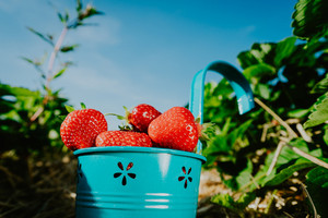 Close up of blue bucket full of fresh pick strawberries. Strawberry field on sunny day with clear blue sky in background