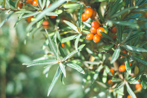 Close up of branches with orange ripe berries of seabuckthorn