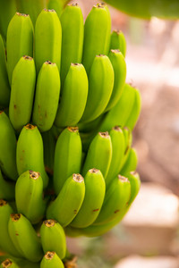 Close-Up Of Fresh Organic Green Banana Bunch at Farm