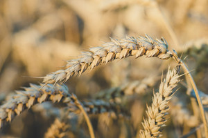 Close up of golden ears of wheat in sun light flares.