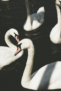 Close up of mute swans in dark water near the Town Hall. Alster. Hamburg, Germany