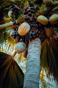 Close up of the famous Coco de Mer coconut palm tree in the botanical garden of Mahe, Seychelles