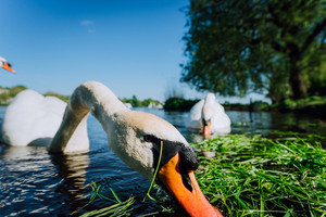 Close up of white grace swan head stretched towards the foto camera. Alster lake on a sunny day in Hamburg
