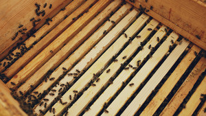 Closeup of bees in honey wooden frames at beehive in apiary