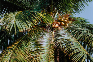 Coconut cluster on palm tree, beautiful fresh leaf with background blue sky. Tropical fruits vegetation