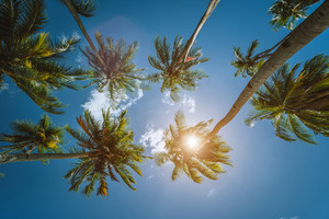 Coconut palm trees tops with sun shining through leaves, view from below. Getaway summer travel concept