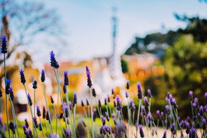 Colorful mosaic building in Park Guell. Violet lavender flower in foreground. Evening warm Sun light, Barcelona, Spain