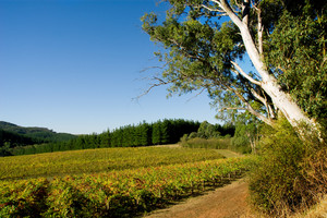 Colourful Vineyard in Autumn next to big gum tree