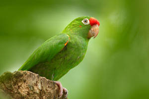 Crimson-fronted Parakeet, Aratinga funschi, portrait of light green parrot with red head, Costa Rica. Portrait of bird. Wildlife scene from tropic nature. Parrot from Costa Rica. Parakket in habitat.